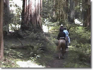 Picture of equestrians riding through the majestic redwoods.